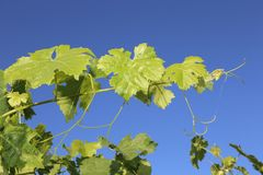 Grape leaves bathing in the sun on a vine front cover- travel to European wine country!. Close up of grapes at a vineyard. Travel to Europe always includes a stock images