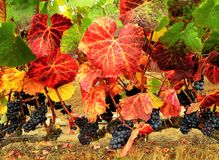 Close up of grapevine. With black grapes and green and red leaves in Casablanca, Chile royalty free stock image