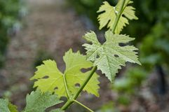 Close up of grapevine royalty free stock image