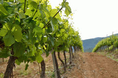 Close-up of the grapevine plantation Stock Photography