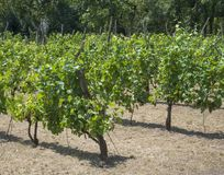 Close up grapevine on vineyard in Benatky nad Jizerou, Czech rep. Ublic, fresh green trees with matured grapes Royalty Free Stock Photography
