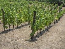 Close up grapevine on vineyard in Benatky nad Jizerou, Czech republic. Fresh green trees with matured grapes Stock Photography