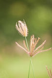Close up of grass blossom Royalty Free Stock Photo