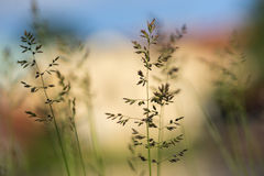 Close up of grass Royalty Free Stock Image