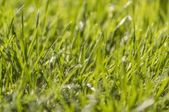 Close up of grass and dew. stock images