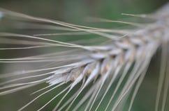 Close Up, Grass Family, Grass, Macro Photography royalty free stock photo