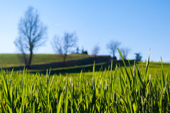 Close-up of the grass in a field. With blurred bare trees in the background Stock Image