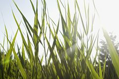 Close-up of grass in field on sunny day Stock Photography