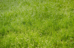 Close up of grass with many dew drops in morning Stock Photo