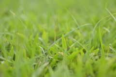 Close-up of grass on the pitch. DOF Shallow. This Image shooting in garden Royalty Free Stock Images