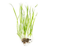 Close up of grass with root isolated on white Royalty Free Stock Images