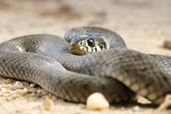 Close up of grass snake Royalty Free Stock Images