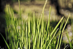 Close-up of grass. A close-up of some grass straws. Perfect as background Stock Images