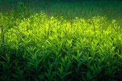 Close up of grass thicket Stock Images