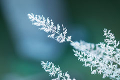 Close-up of grass. Close-up of white grass Royalty Free Stock Photos