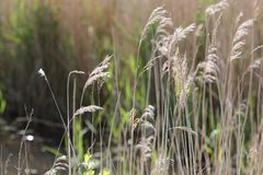 Close up grasses swaying in the breeze. A close up of brown grasses swaying in the breeze Royalty Free Stock Photos