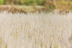 Close-up of grasses Royalty Free Stock Photography