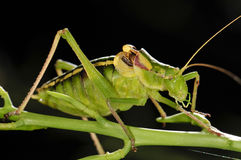 Close up of a grasshopper Stock Photography