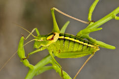 Close up of a grasshopper Royalty Free Stock Image