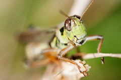 Close-up of a Grasshopper Stock Photography