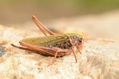 Grasshopper Stock Image