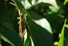 Close up of grasshopper on branch. Close up of grasshopper clinging to green leaf in sunlit garden stock photography