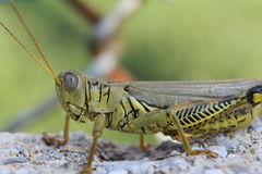 Close-up Grasshopper on Concrete Near a Rusty Fence Royalty Free Stock Image