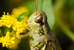 A Close up of a Grasshopper Stock Photography