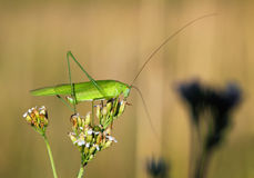 Close up on grasshopper in the field Stock Images