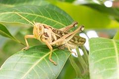 Close up  grasshopper on green leaf Stock Images