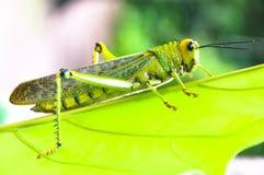 Close up grasshopper. A grasshopper on a green leaf Royalty Free Stock Photos