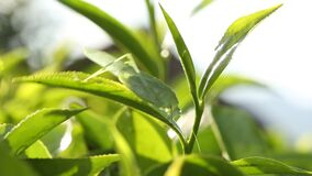 Close up of a grasshopper perched on tea leaves in a tea plantation stock video footage