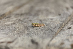 Close up grasshopper on wood. Royalty Free Stock Photography