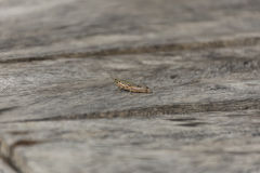Close up grasshopper on wood. Royalty Free Stock Photos