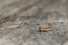 Close up grasshopper on wood. Stock Images