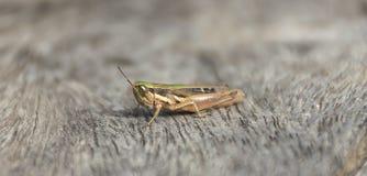 Close up grasshopper on wood. Stock Photos