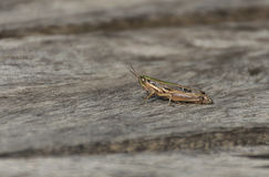 Close up grasshopper on wood. Stock Photography