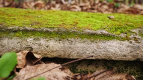 Close-up of a gravestone covered with moss. Abandoned Jewish cemetery. Close-up of a gravestone covered with moss .Old, destroyed and forgotten cemetery stock video