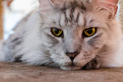 Close up gray cat looking at you. Close up gray cat and yellow eye looking at you Stock Images