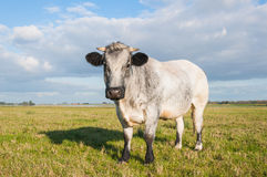 Close-up of a gray cow Stock Image