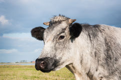 Close-up of a gray cow Stock Images