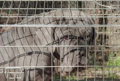 The close up of gray dog inside cage. The close up of gray dog inside cage Royalty Free Stock Images