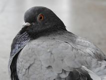 Close up of a gray dove stock photography