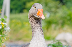 Close up Gray Goose Fotos de Stock Royalty Free
