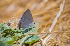 Close up of Gray Hairstreak Strymon melinus butterfly, San Francisco bay area, California stock image