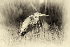 Close up gray heron in a grass. Vintage effect Stock Images
