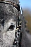 Close up of gray horse eye Stock Image