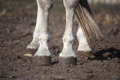 Close up of gray horse legs Stock Photo