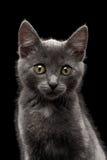 Close up Gray Kitty Looking in camera no preto Foto de Stock