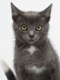 Close-up Gray Kitty Looking in camera op Wit royalty-vrije stock afbeeldingen